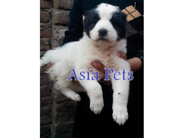 Alabai puppy price in Bangalore, Alabai puppy for sale in Bangalore
