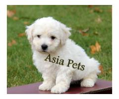 Bichon frise puppy for sale in Bangalore