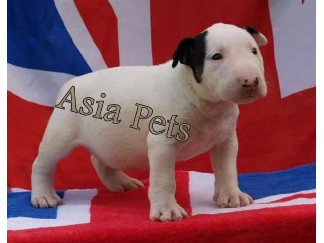 Bullterrier puppy price in Bangalore, Bullterrier puppy for sale in Bangalore