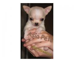 Chihuahua puppy price in Bangalore, Chihuahua puppy for sale in Bangalore