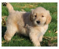 Golden retriever puppy for sale in Ahmedabad, Golden retriever puppy for sale in Ahmedabad,