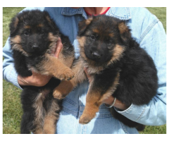 German Shepherd puppy price in Bangalore, German Shepherd puppy for sale in Bangalore