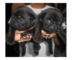 Pug puppy price in Ahmedabad, Pug puppy for sale in Ahmedabad,