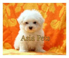 Maltese puppy price in Bangalore, Maltese puppy for sale in Bangalore