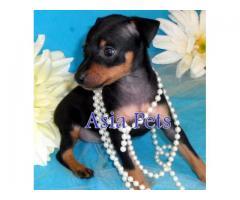 Miniature pinscher puppy price in Bangalore, Miniature pinscher puppy for sale in Bangalore