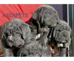 Neapolitan mastiff puppy price in Bangalore, Neapolitan mastiff puppy for sale in Bangalore