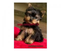 Yorkshire terrier puppy price in Bangalore, Yorkshire terrier puppy for sale in Bangalore