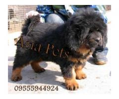 Tibetan mastiff puppy price in Bangalore, Tibetan mastiff puppy for sale in Bangalore