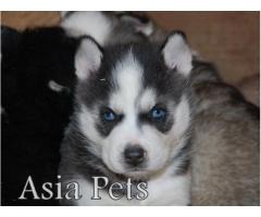 Siberian husky puppy price in Bangalore, Siberian husky puppy for sale in Bangalore