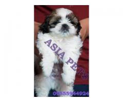 Shih tzu puppy price in Bangalore, Shih tzu puppy for sale in Bangalore