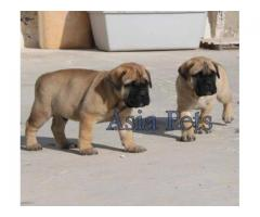 Bullmastiff pups price in Ahmedabad Bullmastiff pups for sale in Ahmedabad,