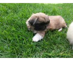 Lhasa apso pups price in guwahati, Lhasa apso pups for sale in guwahati