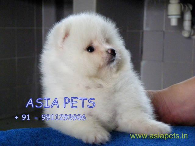 23+ Pomeranian Puppies Price In India