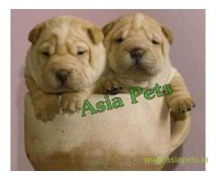 Shar pei puppies price in Hyderabad, Shar pei puppies for sale in Hyderabad