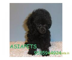 Poodle pups price in hyderabad, Poodle pups for sale in hyderabad