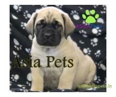 English Mastiff puppies price in Indore, English Mastiff puppies for sale in Indore
