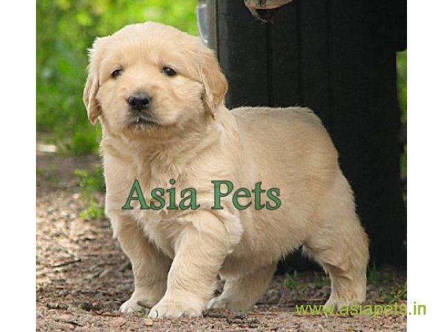 Golden Retriever Puppies For Sale In Indore Golden Retriever Puppies For Sale In Indore