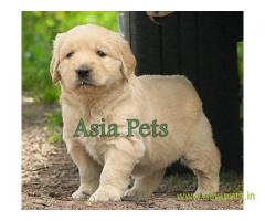 Golden retriever puppies for sale in Indore, Golden retriever puppies for sale in Indore