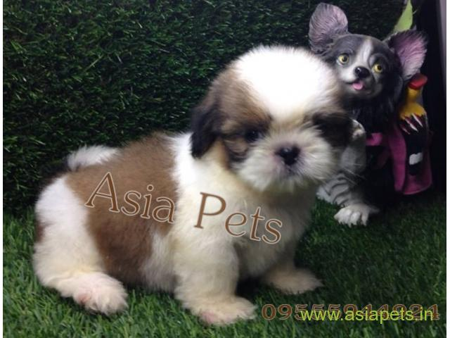 Shih Tzu Puppies Price In Jaipur Shih Tzu Puppies For Sale In Jaipur