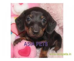 Dachshund pups price in Ranchi, Dachshund pups for sale in Ranchi