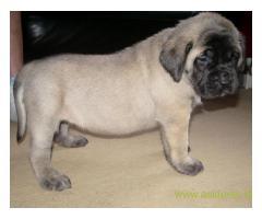 English Mastiff pups price in Ranchi, English Mastiff pups for sale in Ranchi