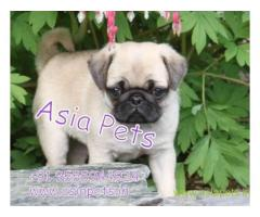 Pug pups price in Ranchi, Pug pups for sale in Ranchi