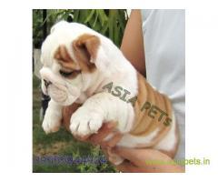 Bulldog puppies price in Ranchi, Bulldog puppies for sale in Ranchi