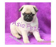Pug puppies price in Ranchi, Pug puppies for sale in Ranchi