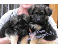 German Shepherd pups price in kanpur, German Shepherd pups for sale in kanpur