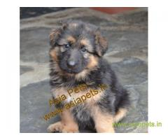 German Shepherd pups price in kochi, German Shepherd pups for sale in kochi