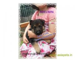 German Shepherd puppy price in lucknow, German Shepherd puppy for sale in lucknow