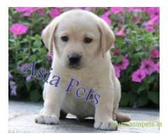 Labrador puppy price in lucknow, Labrador puppy for sale in lucknow