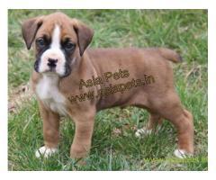 Boxer pups price in mysore, Boxer pups for sale in mysore