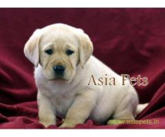 Labrador pups price in nashik, Labrador pups for sale in nashik