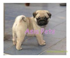Pug pups price in nashik, Pug pups for sale in nashik