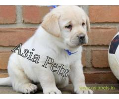 Labrador pups price in Nagpur , Labrador pups for sale in Nagpur