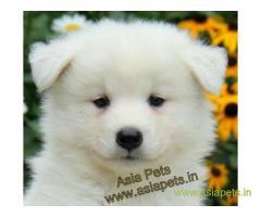 Samoyed pups price in Nagpur , Samoyed pups for sale in Nagpur