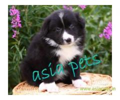 COLLIE PUPPY PRICE IN INDIA
