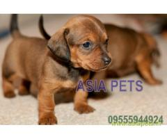 DACSHUND PUPPY PRICE IN INDIA