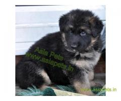 GERMAN SHEPHERD PUPPY PRICE IN INDIA