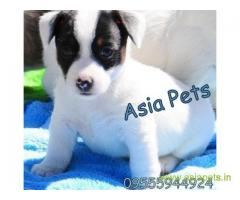 JACK RUSSELL TERRIER PUPPY PRICE IN INDIA