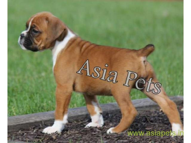 Boxer Puppy For Sale In Delhi Ncr