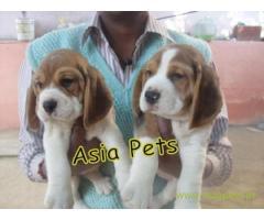 Beagle puppy price in navi mumbai, Beagle puppy for sale in navi mumbai