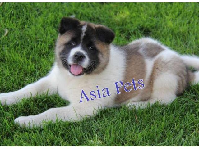 Akita puppies price in Bangalore, Akita puppies for sale in Bangalore