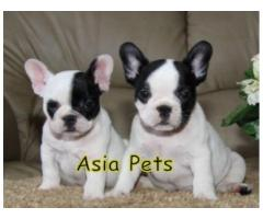 French Bulldog pups price in Ahmedabad,French Bulldog pups for sale in Ahmedabad,