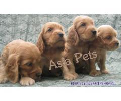 Cocker spaniel puppies price in Bangalore, Cocker spaniel puppies for sale in Bangalore