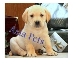 Labrador pups price in Ahmedabad, Labrador  pups for sale in Ahmedabad