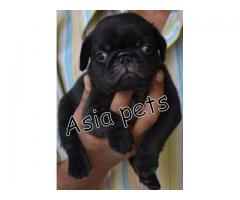 Pug pups price in Ahmedabad, Pug  pups for sale in Ahmedabad