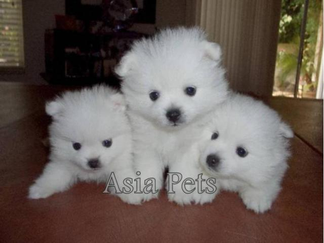 Pomeranian Pups Price In Ahmedabad Pomeranian Pups For Sale In