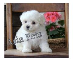 Maltese puppies price in Bangalore, Maltese puppies for sale in Bangalore